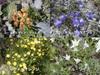 Alps_flowers01