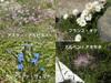 Alps_flowers02